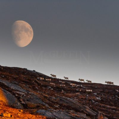 Caribou and Full Moon